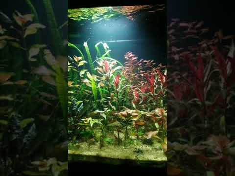 75 Gallon Planted Aquarium.  Carinotetraodon Irrubesco Puffer Fish