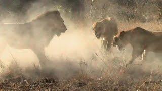 Na śmierć i życie - Lwy z Sabi Sand - Discovery Channel