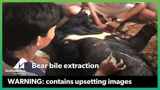 Bear bile extraction in Vietnam