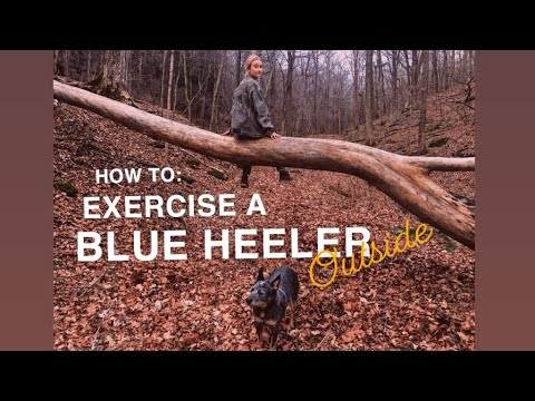 HOW TO: Exercise your dog OUTSIDE! Australian Cattle Dog