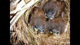 Sparrows Build  Nest in My Patio Plant, Eggs Laid,