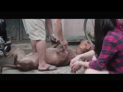 Chó Pit Bull không hư FULL [Hãy share clip nếu bạn yêu chó Pit Bull]