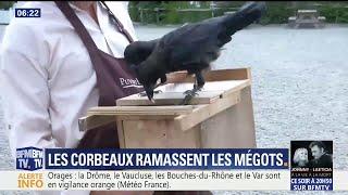 Insolite : au Puy-du-Fou, les corbeaux ramassent les mégots