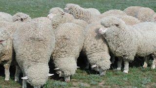 видео Разведение овец и баранов в домашних условиях