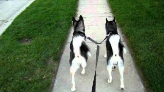 Siberian Huskies Jovi And Mystique 6 Months After Adoption From Northern Lights Sled Dog Rescue