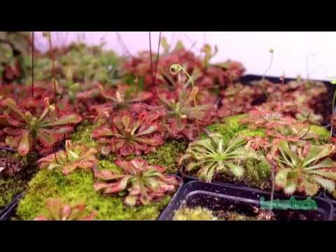 Equilibrio Carnivorous Plants Carnivorous Plants in The