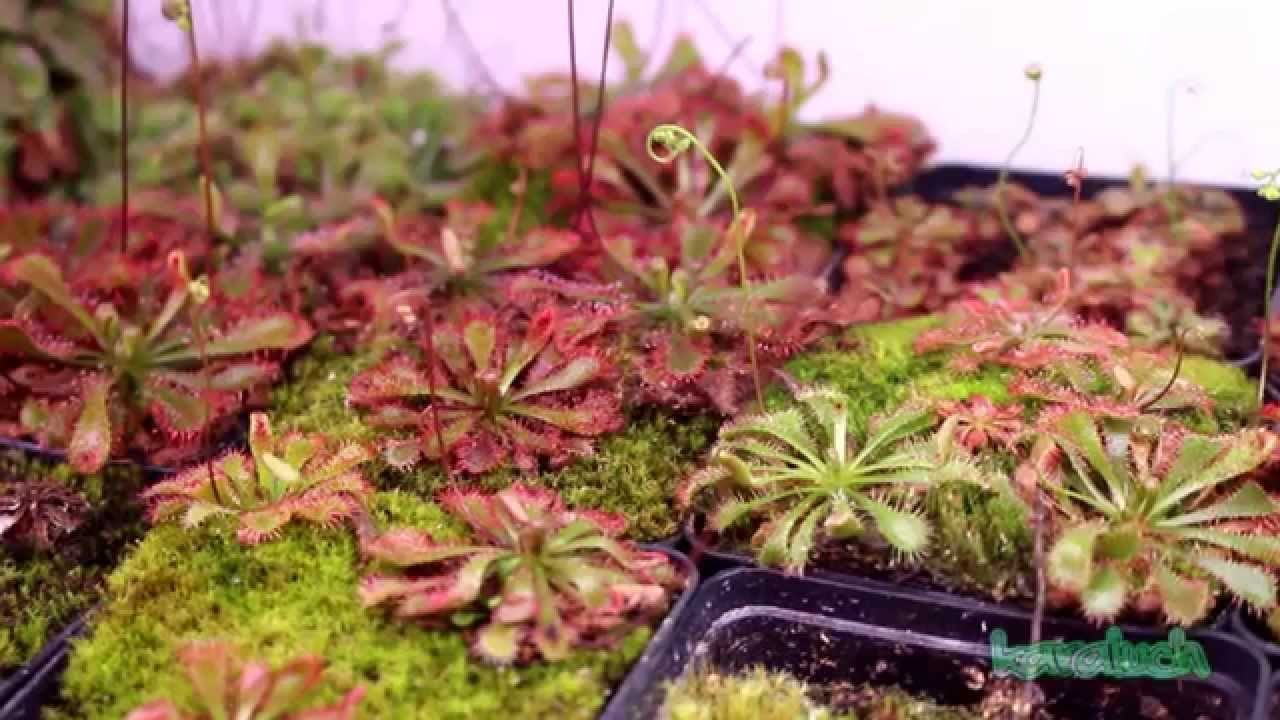 Carnivorous Plants In The Terrarium Drosera Part 6 Hd Youtube