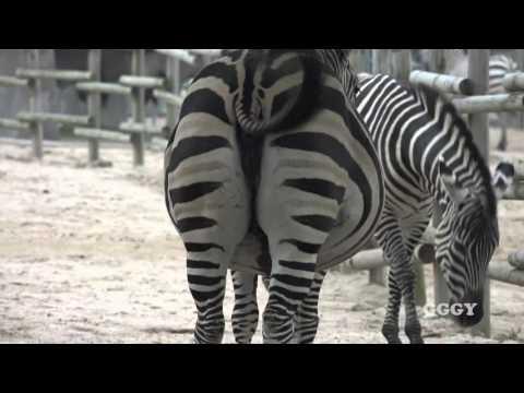 새끼 밴 얼룩말 ( Pregnant Zebra )