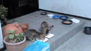 のらねこ☆にっき http://blog.livedoor.jp/straycats_dialy/ 旧ブログ http://mblg.tv/wildcatseye/ かも吉くんはママに会いたくて外で朝ごはん食べたけど...くろ...