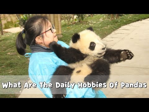 What Are The Daily Hobbies Of Pandas | iPanda