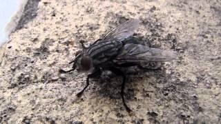 Mosca común hembra (Musca domestica)