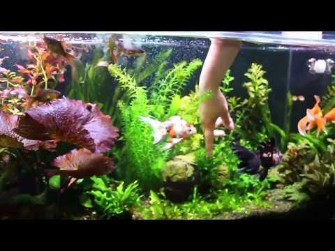 """Аквариумное растение """"Красная Тигровая Нимфея"""" (Кувшинка) пузыряет в аквариуме с рыбками, фотосинтез"""