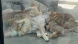 天王寺動物園で2010年4月7日に生まれたチュウゴクオオカミの子供たち...