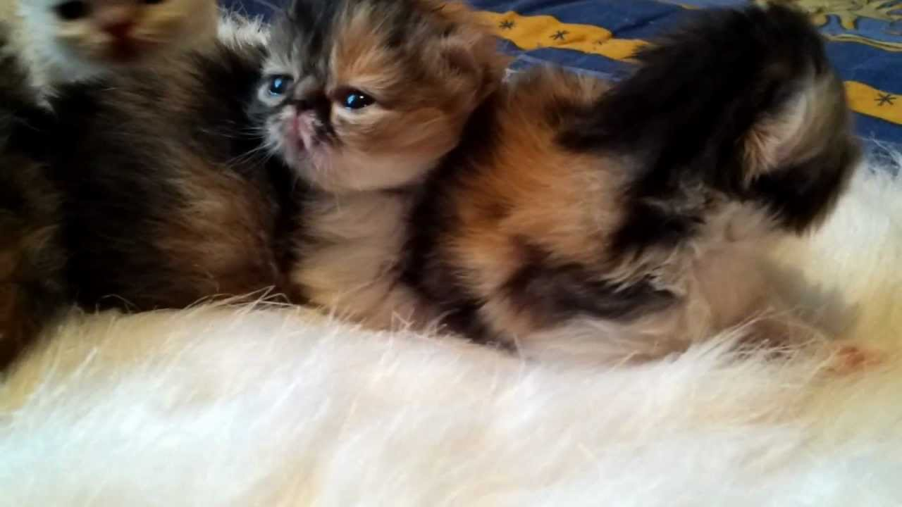 new persian calico kittens 2012 cattery Briz Baltiki for later