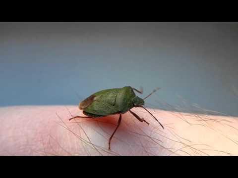 Клоп Щитник Зеленый Древесный Palomena prasina