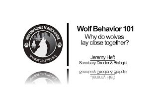WOLF BEHAVIOR 101: Why Do Wolves Lay Together? (#7 of 12)
