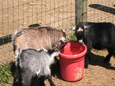 pygmy goats drinking water for the first time youtube