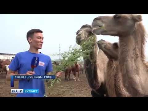 В Ленинск-Кузнецком районе фермеры завели верблюдов