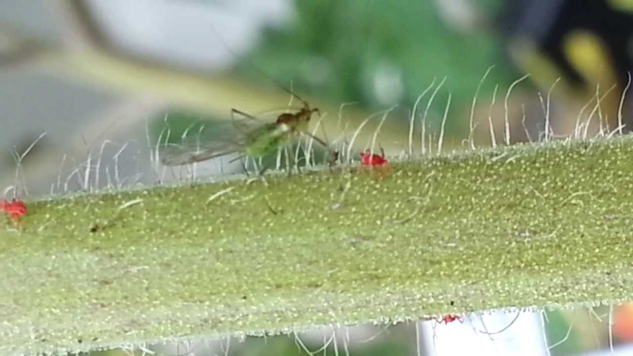 gangnam bug partying on my precious tomato plant with red chiggers youtube. Black Bedroom Furniture Sets. Home Design Ideas