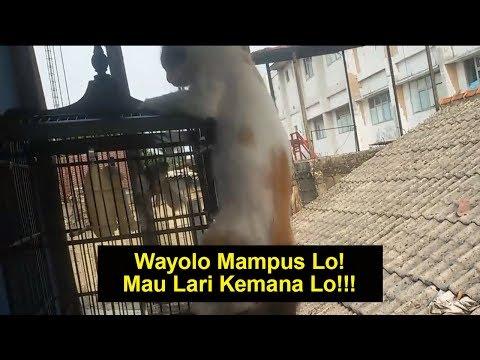 Lihat bagaimana Cara Kucing Ini Menangkap Burung Langsung Dari Kandang (SUBTITLE BAHASA INDONESIA)