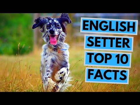 English Setter – TOP 10 Interesting Facts