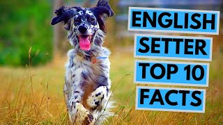 English Setter  TOP 10 Interesting Facts