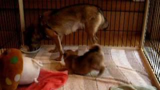 生後約40日目の川上犬の赤ちゃんです。、元気よく、のびのびと育ってい...