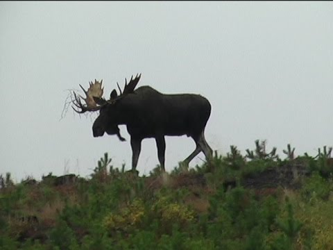 Unbelievable Archery Moose Hunt