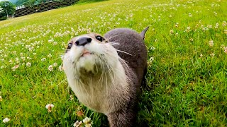 Even otters run! Aty runs in the green field after the rain! [Otter life Day 540]