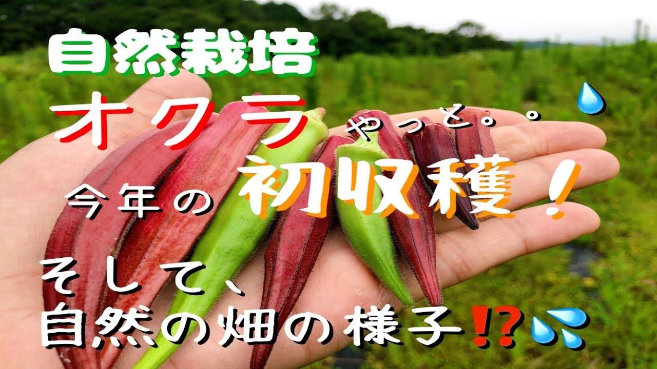 自然栽培、オクラの初収穫!(自然の畑の様子)[7.4/我流自然栽培]