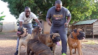 'Kumasi has the best of Bull Mastiffs in West Africa' | A walk into DeAsantez Dog Kennel