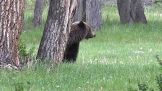 Download Grizzly Bear on the Ranch/Cody Wyoming MP3 song and Music Video