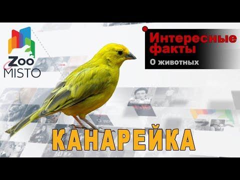 Канарейка Интересные факты о виде | Вид птицы канарейки