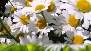 Ромашка аптечная. Лекарственные травы