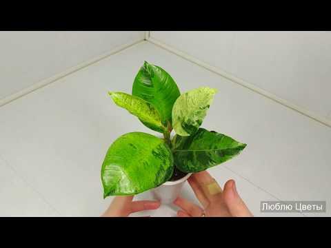 Новые растения в коллекции - Фикус Шривериана