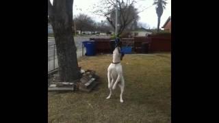 American Bulldog Springpole Workout & Training