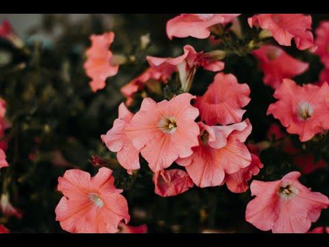 Jack'd Up Gardening #11 - Petunias