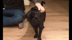 Day of Kylo Ren - a brussels griffon from the dark side