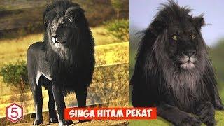 Singa ini punya Warna Kulit Dan Bulu yang hitam Pekat Yang menjadikannya singa paling aneh di dunia