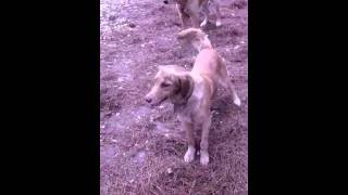 Golden Retriever Dog Catches Her Own Tail!!!