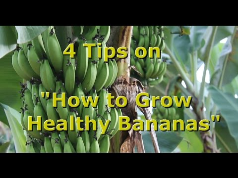"4 Tips on ""How to Grow Healthy Organic Bananas"" with Brendon McKeon"
