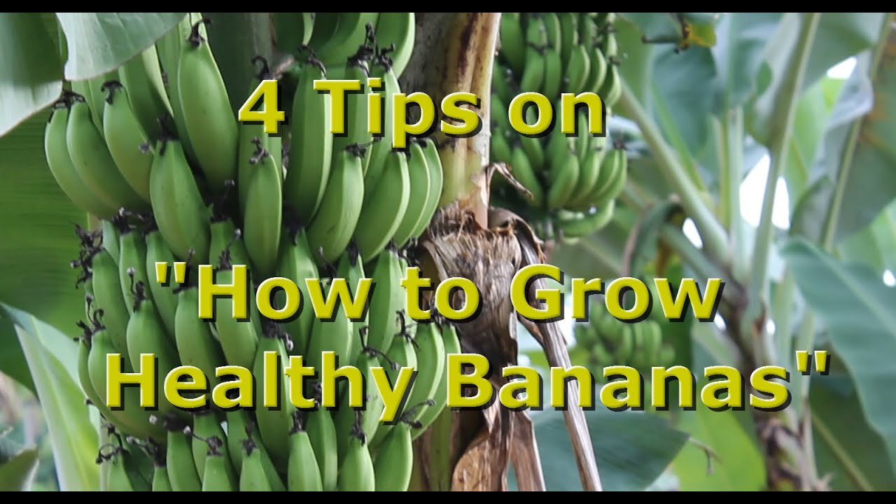 """4 Tips On """"how To Grow Healthy Organic Bananas"""" With"""
