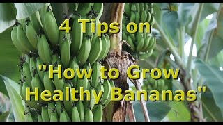 4 Tips on How to Grow Healthy Organic Bananas with Brendon McKeon