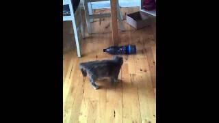 Кошка и бутылка! Cat Nicol!