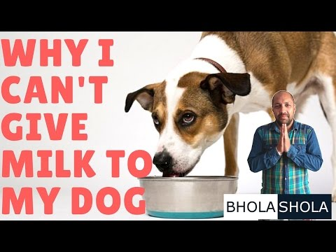 Pet Care - Why I Can't Give Milk To My Dog - Bhola Shola