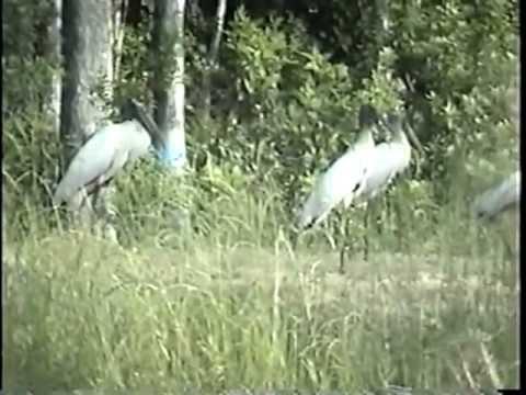 SWAMP BIRDS & WOOD STORKS OF FLA.