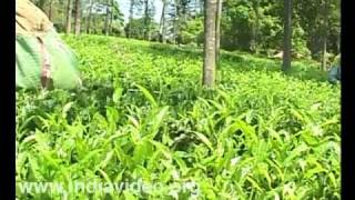 Tea plantation tribal Wayanad