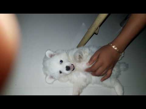 Cute little puppy playing funny video