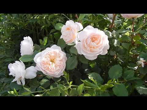 Розы Остина в начале цветения
