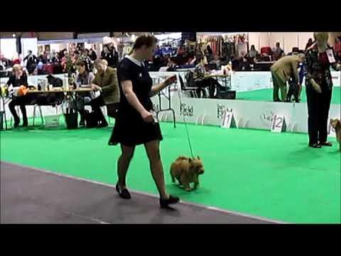 March 18, 2018  Riga, Latvia , IDS, Norwich Terrier